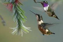 Hummingbirds / by Haviva Ivry
