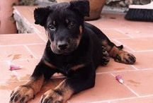 Beauceron / Beauceron / French Shorthaired Shepherd / Beauce Shepherd / Berger de Beauce / by Dog Breeds
