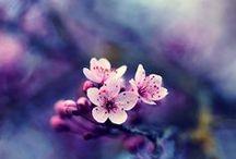 * Sakura * / by Raika