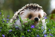 Hedgehoge Love <3 / by Mary Jane Gearhart