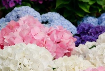 Hydrangea Heaven! / by Mary Jane Gearhart