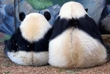 Pandamonium / Packed with giant panda and red panda goodness. / by Zoo Atlanta