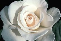 White garden / by Lesley Baker