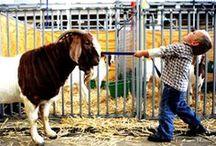 Showing & Judging Livestock:) / by Cheyenne Rochelle