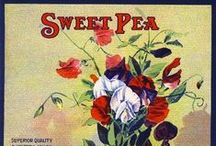 ♡♡ Sweet Pea ♡♡ / Such a lovely name :) / by Delia Muse Mooney