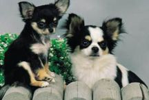 Adorably Cute Chihuahuas! / My favorite breed of dog! I have three and they are so adorable!  / by Cindy Frazier
