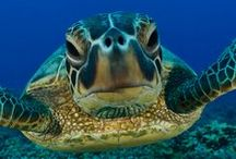 ~  Sea Turtles ~ / I love Turtles   <3 / by Vero Li