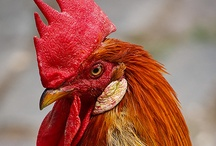 Roosters / by Patty McElroy Smith