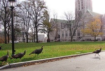 Turkey Time! / Look closely and you just might see one (or a gang) making their way through Chestnut Hill / by Boston College