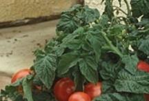 Intelligent Kitchen Gardener / Innovation ideas in kitchen gardening. Grow your own food.  / by Shabbir Bhutta