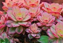 Sensational Succulents / Ideas for growing succulents / by linda musser