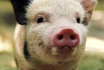 Piggies <3 / by Lindsay Tums
