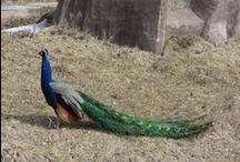Peacocks / by UIU Office of Career Development