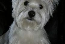 Westies / by Val Wenner