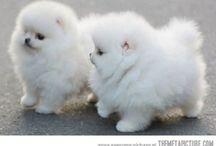 Pom Poms (Pomeranians) / by Robyn Hoody