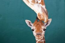 Giraffes / by Red Persimmon Imports - Katrina Ulrich