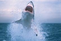 Sharks / by Boo Jay