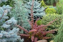 Conifers / by Richard Rock