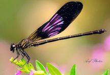 Animals ~ Dragonflies and Damselflies / by Carroll Wilson