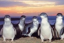 ***Penguin World / Beautiful photos of our planets 18 different Penguin spices! Enjoy! / by Jill Spirup