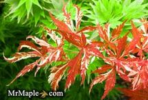 Japanese Maples / From MrMaple.com / by MrMaple.com