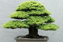 Beautiful Bonsai / Bonsai is a Japanese art form using miniature trees grown in containers. Some of them are hundreds or even thousands of years old. If you like this board don't forget to have a look at the rest of my boards at http://pinterest.com/tranquilwild/  Check out my blog at www.tranquilwilderness.com / by Tranquil Wilderness