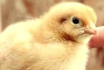 Feathered Friends / All things poultry / by Heather Jackson - Green Eggs & Goats