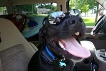 Labrador Retriever / by Urbandale Family Dentistry, PC