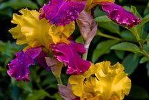 iris paradise / my favorite flower / by Kimberly Danuser Lindquist