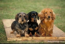 Doxie's / by Tanda Peterson Perry