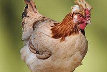 Chickens, Ducks, Geese  / by Debbie Chandler