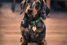 WIENER WORLD / All things dachshunds. / by Shanna Cook