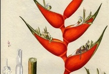 Botanica / All things botanical / by Margaret Lane