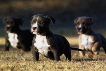 Pit Bull Lover / by Kat Mc