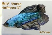 IBC Double Tail  Females / by International Betta Congress