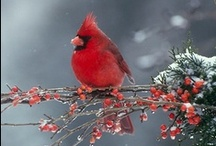Cardinal Inspiration / Images of red cardinals for ideas and just because... / by annie m