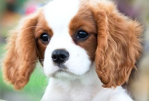 Cavalier King Charles Spaniels / The sweetest animals on the face of the earth are Cavalier King Charles Spaniels. My dearest Mi Hija keeps my heart warm and my face smiling. / by Linda