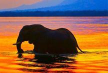 Elephants / Elephants are gigantic animals that are gentle souls. / by Gloria Bush