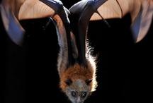 Batty / by Grade ONEderful