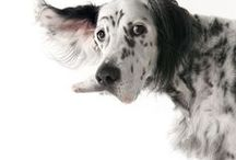 english setters / by judith pedersen