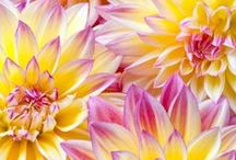 Dahlias - Gardening Time! / by Forest Chick