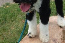 Portuguese Water Dogs / by Quinn Ma