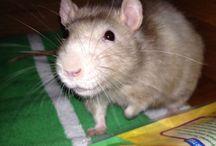<:3(  )~~  RATS! / Pet Rats / by Katie Link