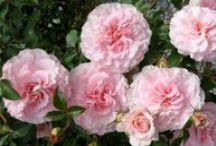 Roses / by Lynn Michaels