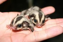 Sugar glider❤️ / by Courtney Isaryk
