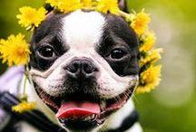 Boston Terriers / by Victoria Barnes
