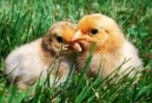 raising chickens / by Leanna Hathaway