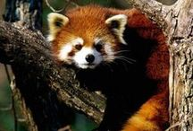 Red / RED PANDAS=MEANING OF LIFE / by valkyrie's flight