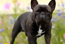 I LOVE DOGS ❤️my French Bulldog & my Rescue (Owen and Deuce) / by Lori Brooks Harrison