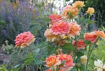 Rosey Views #roseplants / All Roses. Rose plants and roses in gardens / by Ilona's Garden